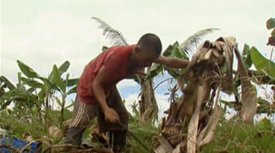 Philippine banana industry hurt by typhoon