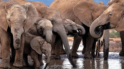 A recent report said the illegal ivory trade in Africa had doubled since 2007  [EPA]