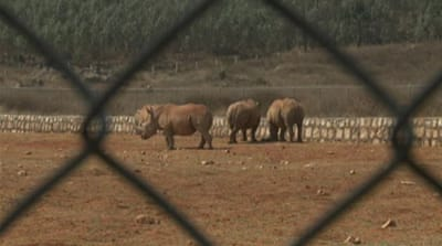 China's rhino-horn farms enrage activists