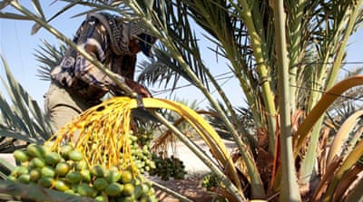 Agriculture accounts for less than 5 percent of Palestinian GDP [Nakheel Palestine/Al Jazeera]