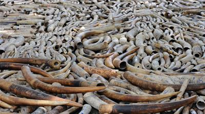 Kenyan poachers make a killing in ivory