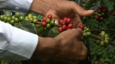 Colombia's coffee crop shows recovery signs