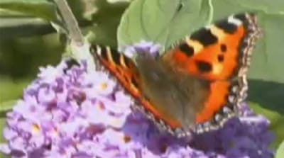 UK butterflies get boost from heatwave