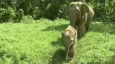 Habitat loss imperils Indonesia elephants