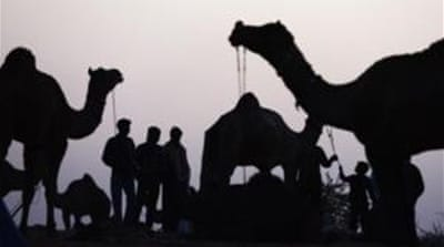 Scientists found traces of antibodies against the MERS virus in dromedary camels, but not the virus itself [AP]