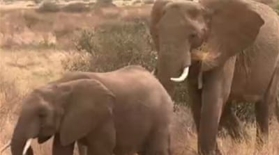 Demand for ivory endangers African elephants