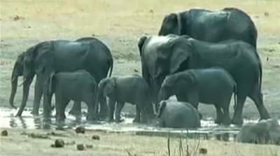 Zimbabwe's poachers poison up to 90 elephants