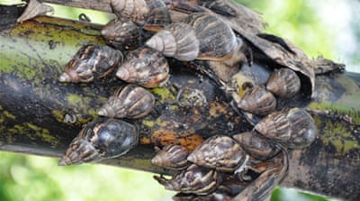 Giant snails make rapid inroads into India