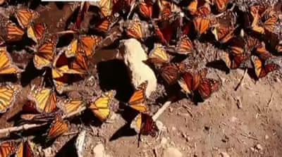 Monarch butterfly numbers lowest since 1995