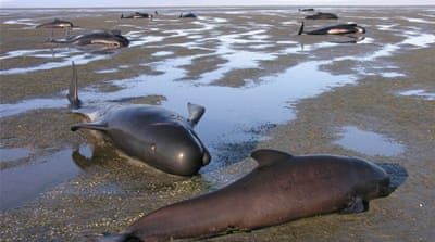 Mass pilot whale strandings are common in New Zealand [File: AP]