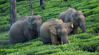 Asian elephant SMS saving Indian lives