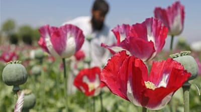 Afghan opium cultivation hits record high
