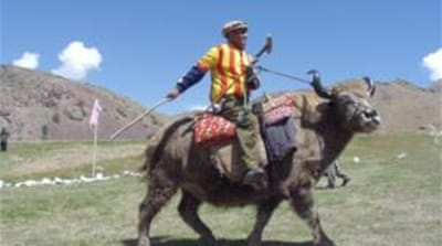 A well looked-after yak can fetch around $1,000 when sold [Tourism Corporation Khyber-Pakhtunkhwa]
