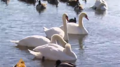 New York swans stir animal rights controversy