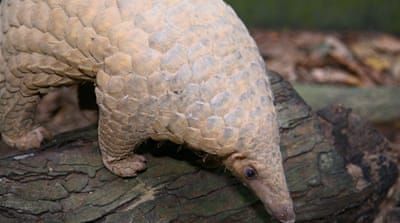 One rights group said some 8,125 pangolins were seized in 13 nations in 2013 [Credit: Wildlife Reserves Singapore]