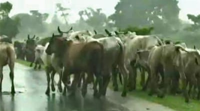 Millions of cattle at risk in Bolivia floods