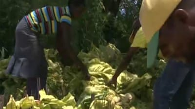 Zimbabwe farms swap food for cash crops