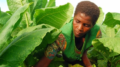 In Pictures: Malawi's tobacco industry