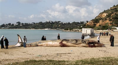 Endangered whale washes ashore in Tunisia