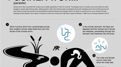 Life cycle: Guinea worm