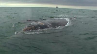 Whale saved from brink of extinction