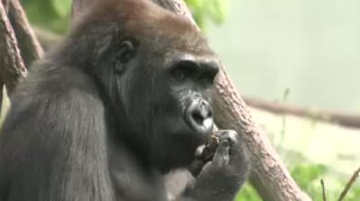 Chicago zoo creates gorilla-blood database