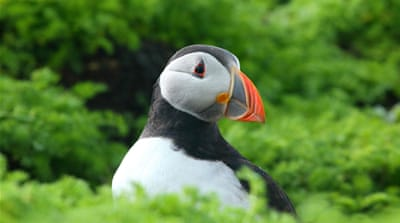 The puffins of Wales face a stormy future