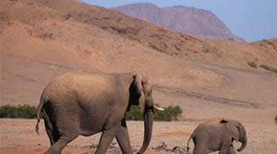 Elephants are some of the wild animals facing pressure from humans in Namibia [John Grobler/Al Jazeera]