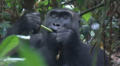 Tracking apes at risk of extinction in Congo