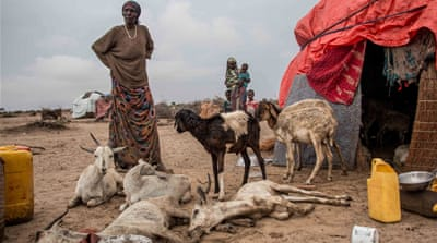 Somaliland's herders devastated by drought