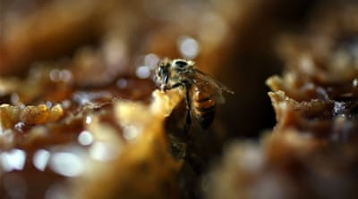 Why dying bee populations need human attention