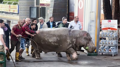 The escaped hippopotamus was cornered in one of Tbilisi's main squares and subdued with a tranquiliser gun [Reuters]