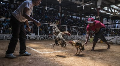 In Madagascar, cockfighting is big business