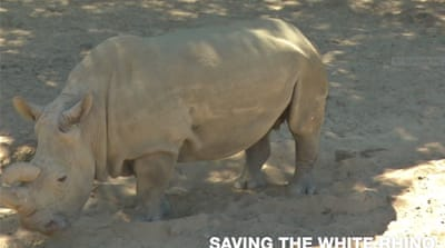 On Al Jazeera: Saving the endangered white rhino