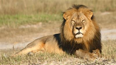 Global anger in response to this incident has brought the important issue of trophy hunting in Africa to the forefront [AP]