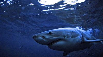 Australia: The dilemma over taking out 'rogue' sharks