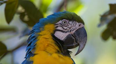 Saving Peru''s Macaws - TechKnow - Getty Images