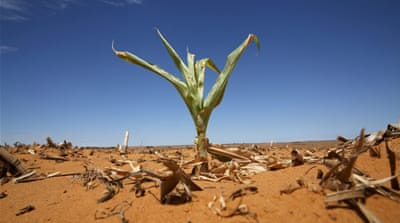A maize plant is seen among other dried maize at a field in Hoopstad, a maize-producing district in the Free State province, South Africa, Jan 13, 2016.  REUTERS/Siphiwe Sibeko