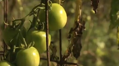 Puerto Ricans strive to boost food production