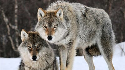 Debate rages over plan to cull two-thirds of Norway's wolves