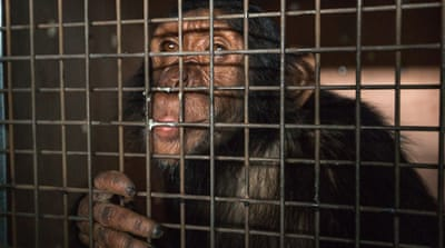 Iraqi chimp moved to sanctuary in Kenya