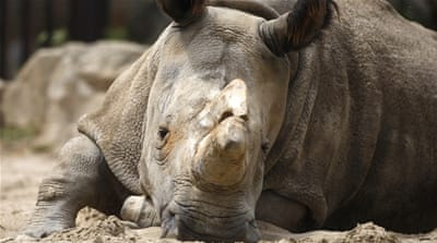 Can faux rhino horn help save the species?