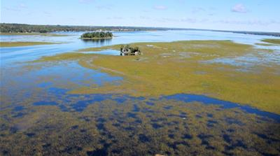 The wild rice at Pigeon Lake [Photo courtesy of Larry Wood]