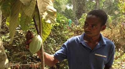 Cocoa farms spring back to life in Sierra Leone