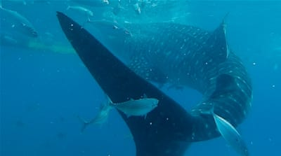 Should you swim with whale sharks in the Philippines?
