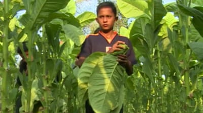Indonesia tobacco plantations using child labour