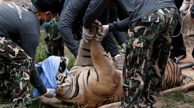 The tigers are being taken to government animal shelters elsewhere in the country [Chaiwat Subprasom/Reuters]