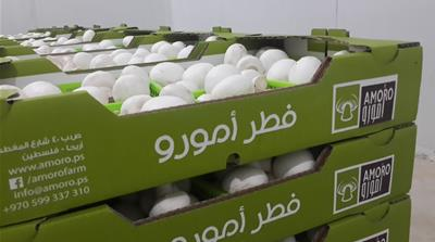 The first locally produced mushrooms in Palestine are packaged and shipped to Nablus, Ramallah, Jenin, Bethlehem and other cities across the West Bank [Photo courtesy of Amoro Farm/Al Jazeera]