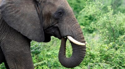 Are tougher rules needed to save the elephant?