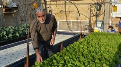 Said Salim Abu Nasser has grown 3,500 kg of organic produce without any soil [Mersiha Gadzo/Al Jazeera]